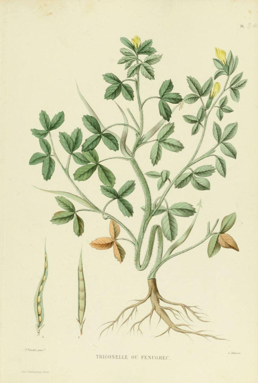 gravures_plantes_-_0079_trigonelle_ou_fenugrec